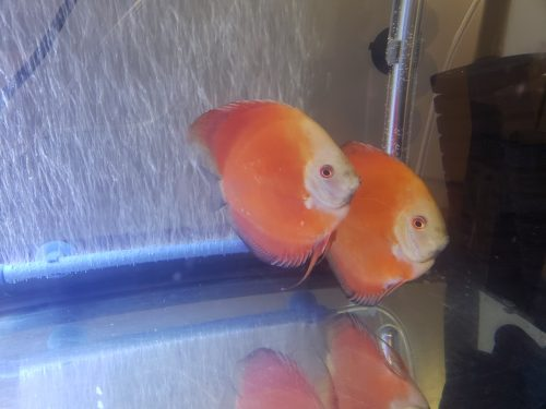 Fuji Red Tangerine Discus, Proven Pair photo review