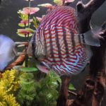 German Red Turquoise Discus, Red Base photo review