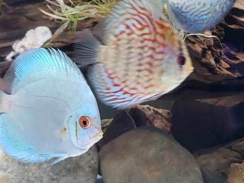 Blue Diamond Discus With Deep Blue Gene photo review