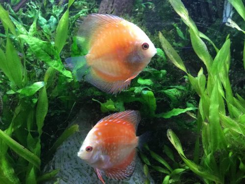 Golden Melon Throwback Discus photo review