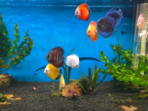 Rose Red Discus, Dark Base photo review
