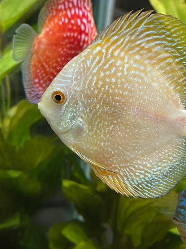 Golden Pearl Pigeon Snakeskin Discus photo review