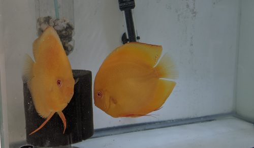 Full Yellow Faced Albino Millenium Gold, Proven Breeding Pair photo review