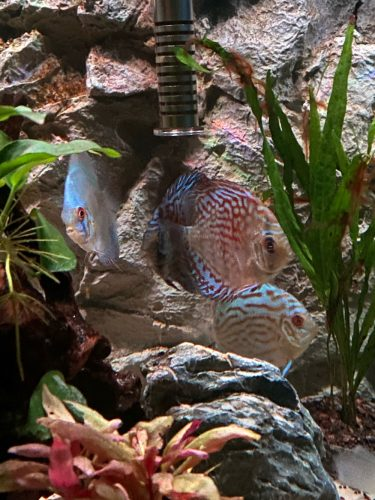 Blue Tiger Carnation Turquoise Discus photo review