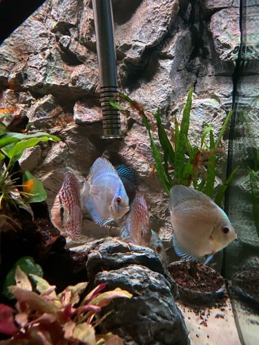 Classic Blue Scorpion Discus photo review