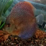 Red Super Eruption Discus, High Body photo review