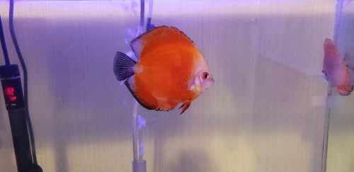 Fuji Red Discus photo review