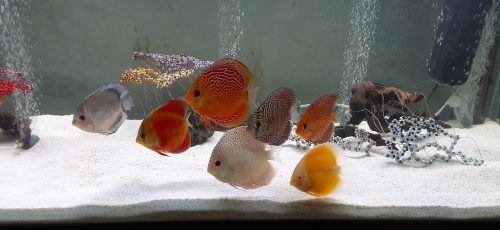 High Bodied Red Snakeskin Discus photo review