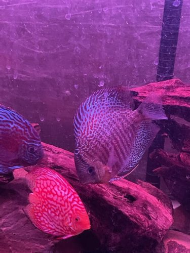 Super Carnation Checkerboard Pigeon Discus, Thick Line photo review
