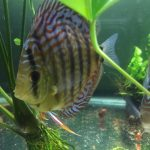 F1 Ica Red Discus photo review