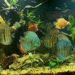 Wild Manacapuru Blue Discus photo review