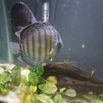 Wild Tefe Red-Spotted Green Discus, Black Halo photo review