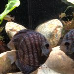 Blue Tiger Snakeskin Discus photo review