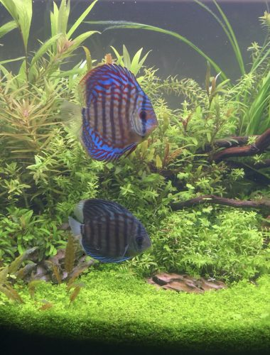 Mosaic Turquoise Discus, Blue Base photo review