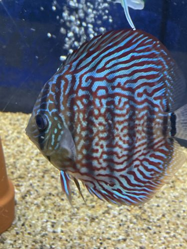 Galaxy Turquoise Discus photo review