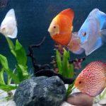 Fuji Red Tangerine Discus photo review