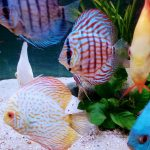 Striated Brilliant Blue Turquoise Discus photo review