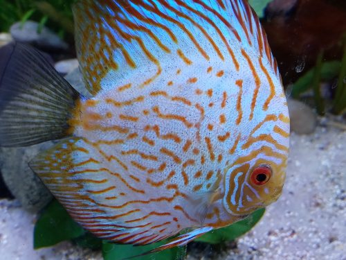 Tangerine Carnation Pigeon Discus photo review
