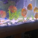 """Wild Lago Grande """"Blood Red"""" Discus photo review"""