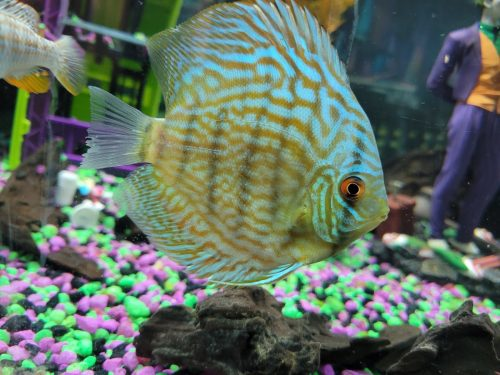 Brilliant Blue Turquoise Discus, Thick-Lined photo review