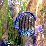 Wild Trombeta Blue Royal Discus photo review